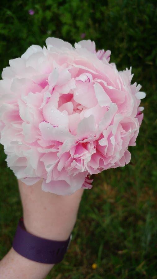 Peonía de la primavera foto de archivo libre de regalías