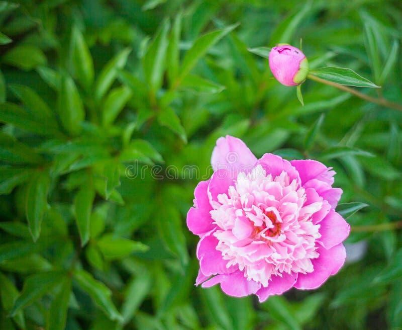 Peonía del rosa de Georgeous en la floración imagenes de archivo