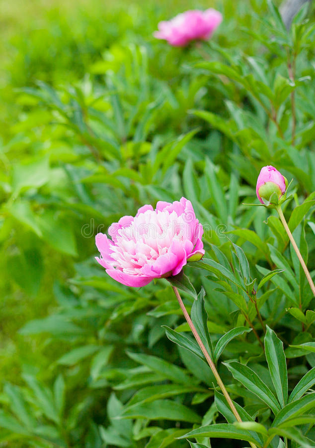 Peonía del rosa de Georgeous en la floración foto de archivo