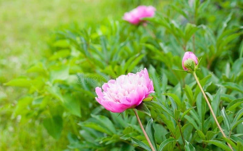 Peonía del rosa de Georgeous en la floración imagen de archivo