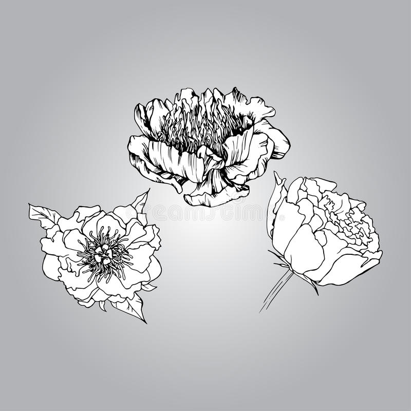 Peonía dibujada mano libre illustration