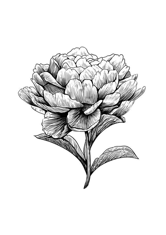 Peonía, flor, grabado, dibujo, vector, ejemplo stock de ilustración