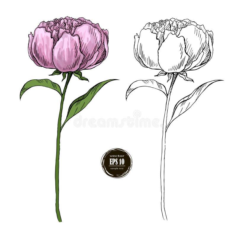 Peonía hermosa coloreada y mano blanco y negro dibujada libre illustration