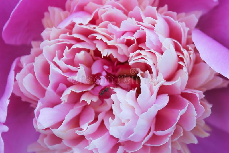 Peonía púrpura, flor hermosa, rosada fotografía de archivo libre de regalías