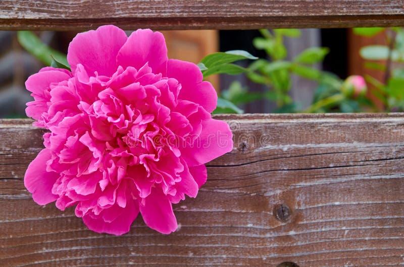 Peonía que florece en el jardín en el viejo tablero marrón del vintage con el espacio de la copia libre imagen de archivo libre de regalías