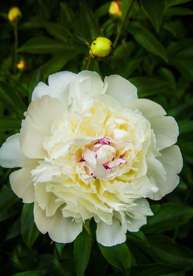 Peonías blancas florecientes en el jardín del verano imagenes de archivo
