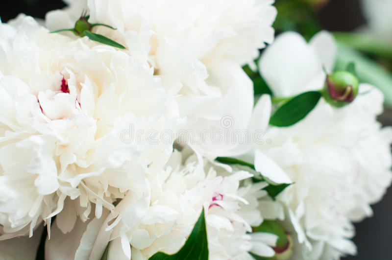 Peonías blancas imponentes en fondo de madera rústico foto de archivo libre de regalías