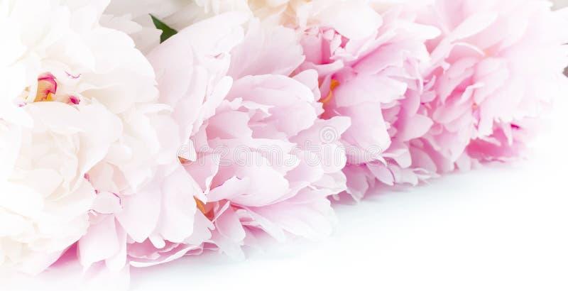 Peonías blancas y rosadas en una tabla blanca fotografía de archivo