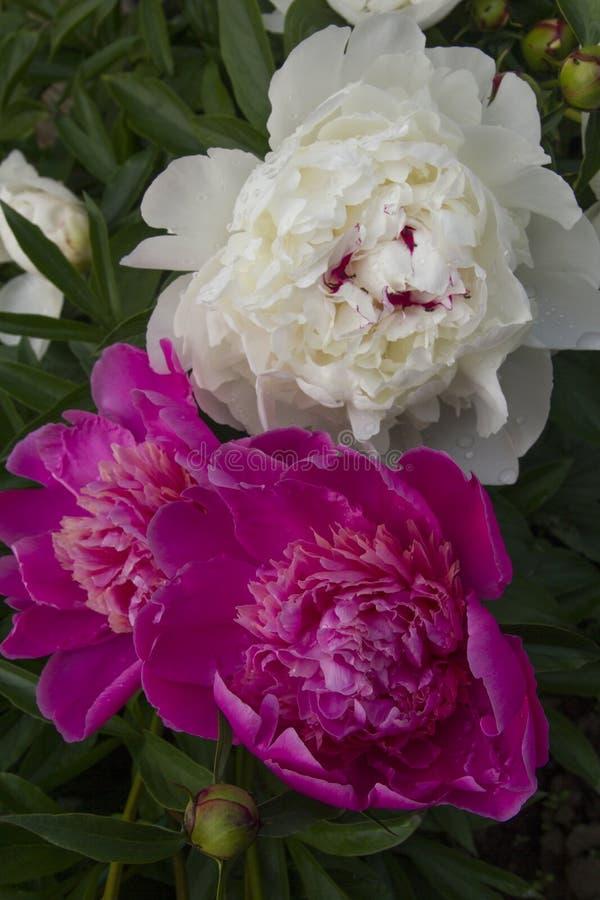 Peonías florecientes fotografía de archivo