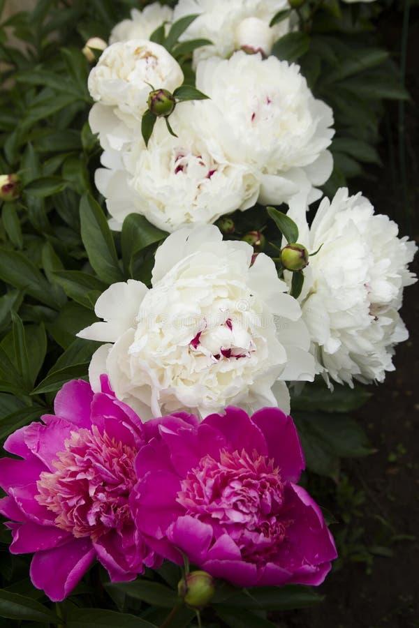 Peonías florecientes fotos de archivo