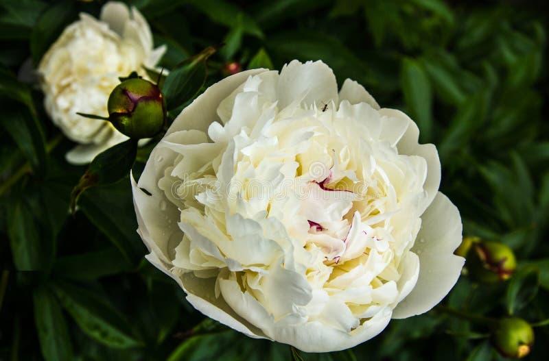 Peonías florecientes en el verano fotos de archivo libres de regalías