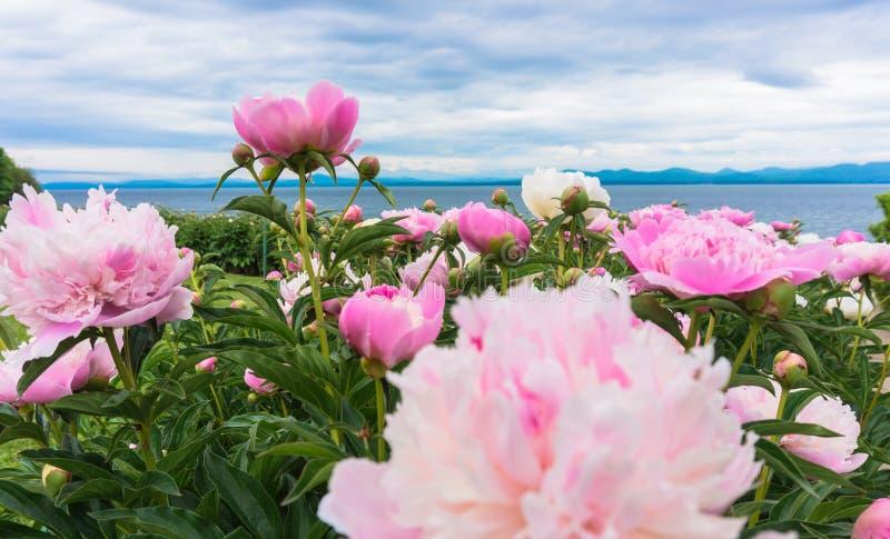Peonías rosadas brillantes en el primero plano del lago Champlain, Vermont fotografía de archivo