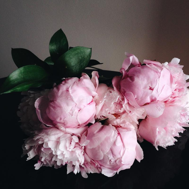 Peonías rosadas en la plena floración foto de archivo