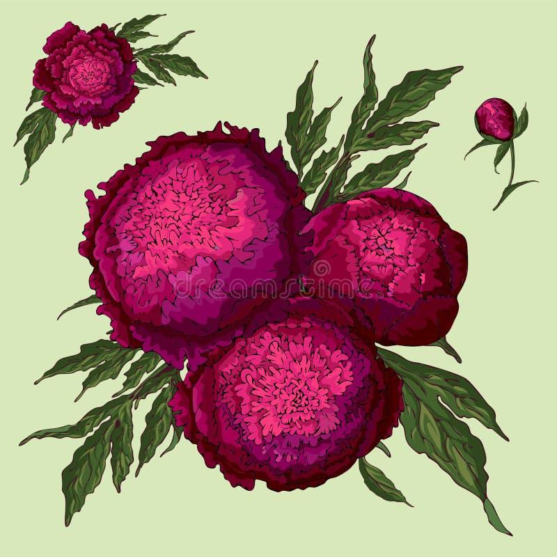 Peon?as del vector Fije de las flores aisladas de Borgoña Ramos de flores en un fondo verde claro Plantilla para la decoración fl ilustración del vector