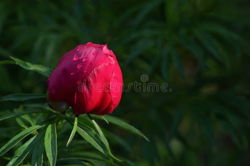 Peones Rojos Y Salvajes Florecen En Un Jardín fotos de archivo