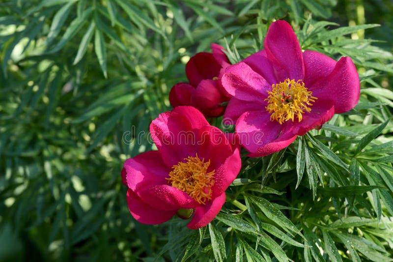 Peones Rojos Y Salvajes Florecen En Un Jardín foto de archivo