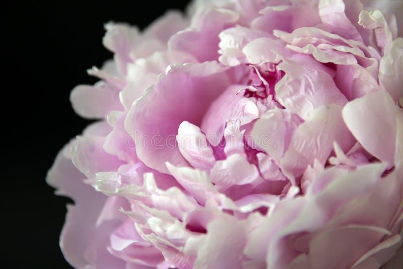 Peonflower, su un fondo nero immagine stock