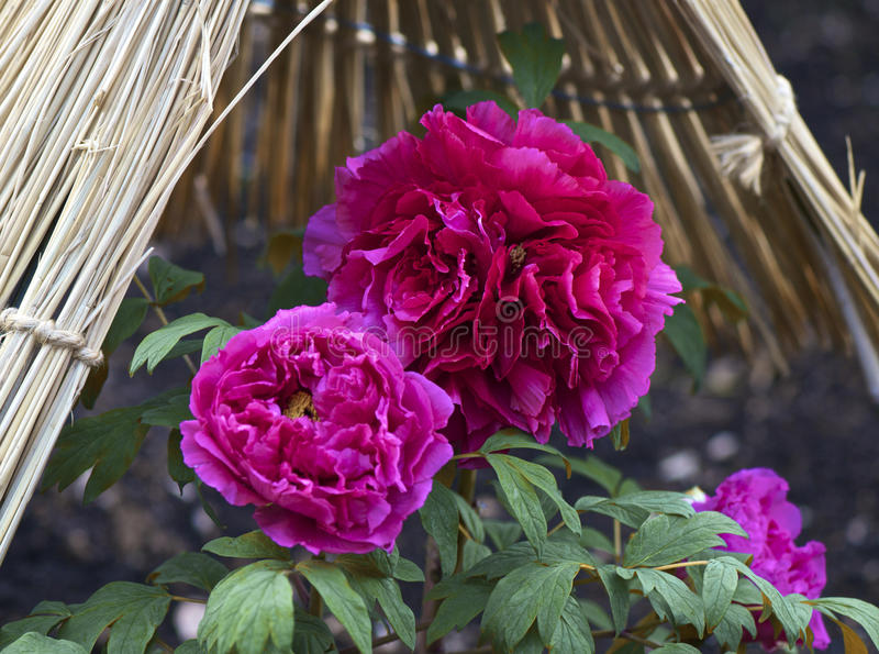 Peonia fotografia royalty free