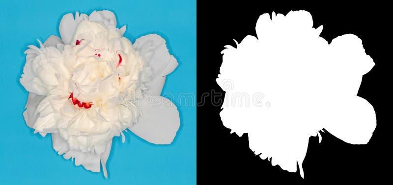 Peonia bianca scolpita Fiore su un fondo di contrapposizione immagini stock
