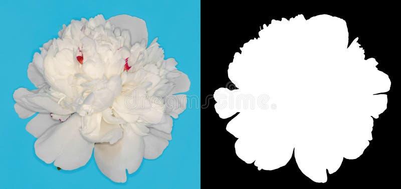 Peonia bianca scolpita Fiore su un fondo di contrapposizione immagini stock libere da diritti