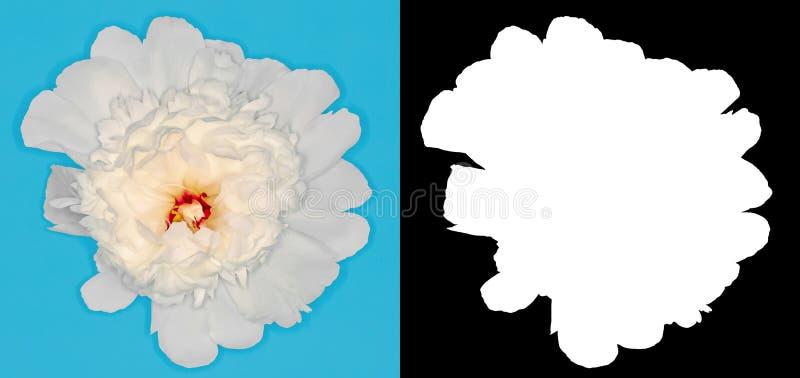 Peonia bianca scolpita Fiore su un fondo di contrapposizione fotografia stock