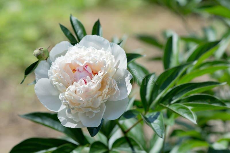 Peonia bianca su un letto nel giardino fotografia stock libera da diritti