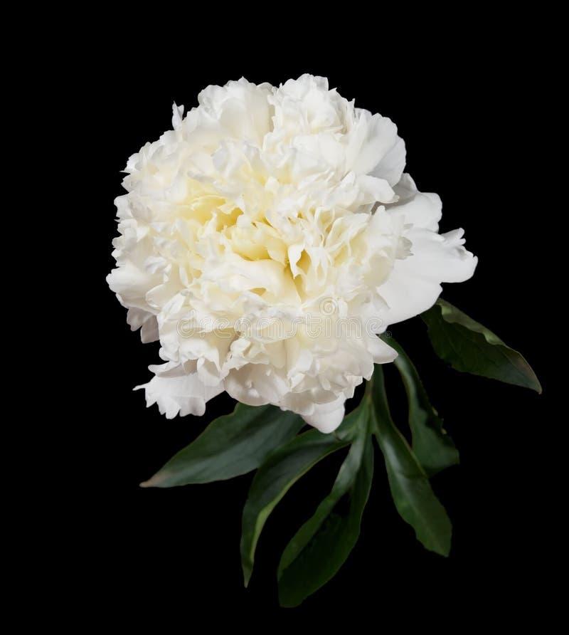 peonia biel obrazy royalty free