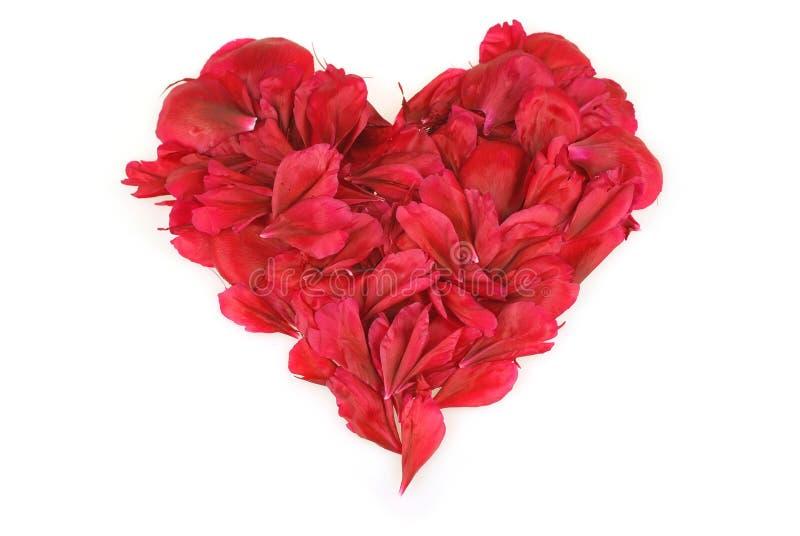 Download Peonia Blumeninneres über Weiß Stockfoto - Bild von schönheit, neigung: 26355196
