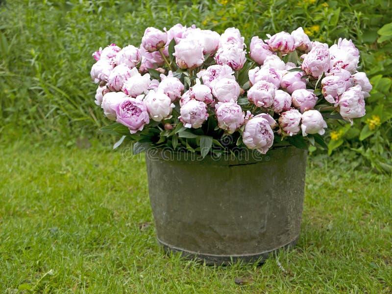 Peonia bukiet w ogródzie obrazy royalty free