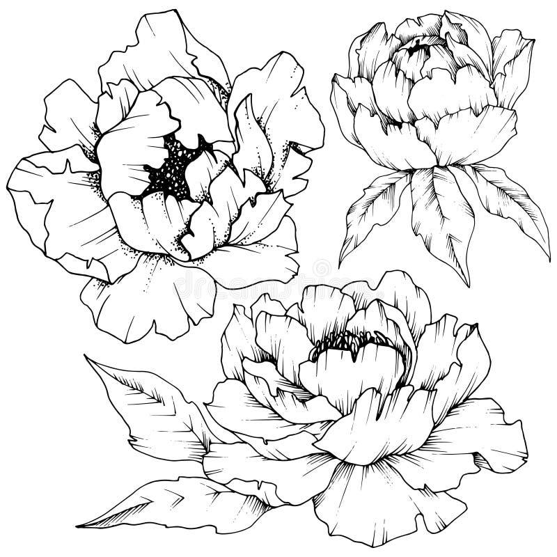 Peonia del Wildflower in uno stile di vettore isolata royalty illustrazione gratis