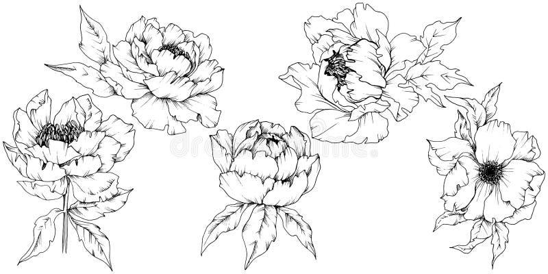 Peonia del Wildflower in uno stile di vettore isolata illustrazione vettoriale