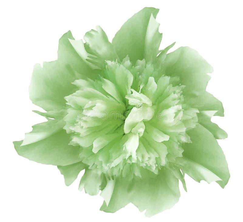 Peonia di verde del fiore dell'acquerello Su un bianco fondo isolato con il percorso di ritaglio nave Primo piano nessun ombre fotografie stock libere da diritti