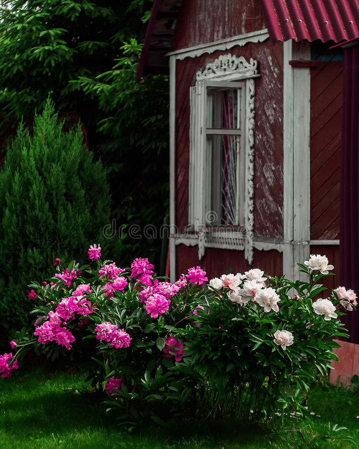 Peonia krzak fotografia royalty free
