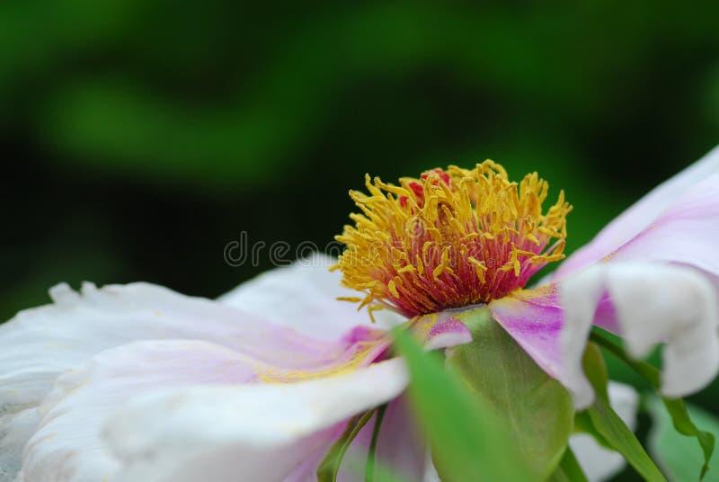 Peonia kwiat zdjęcie stock