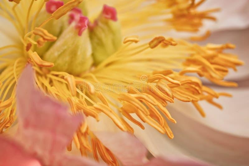 Peonia kwiat Makro- zdjęcie stock