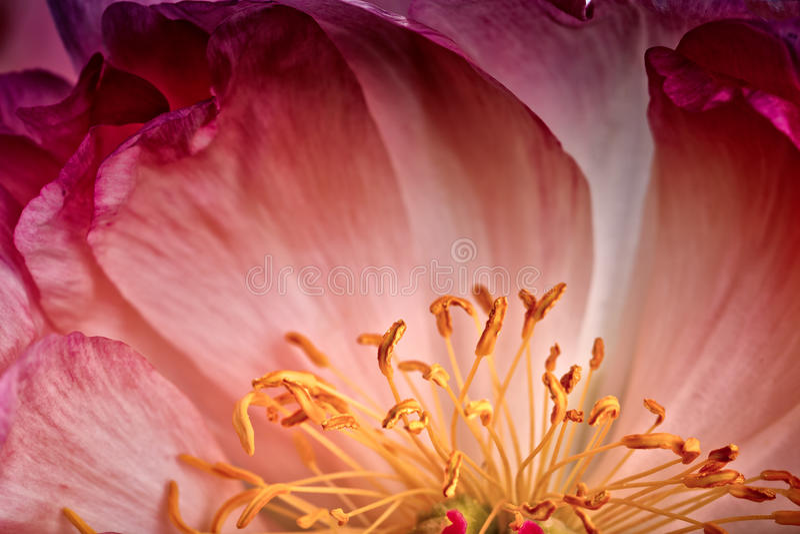 Peonia kwiat Makro- obraz stock