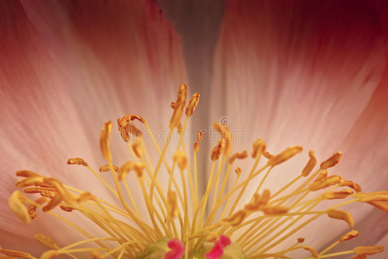 Peonia kwiat Makro- obrazy royalty free