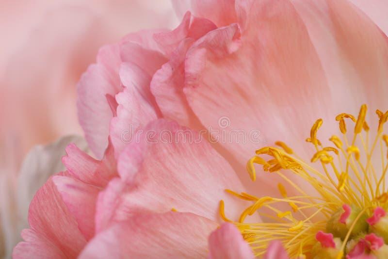 Peonia kwiat Makro- fotografia royalty free