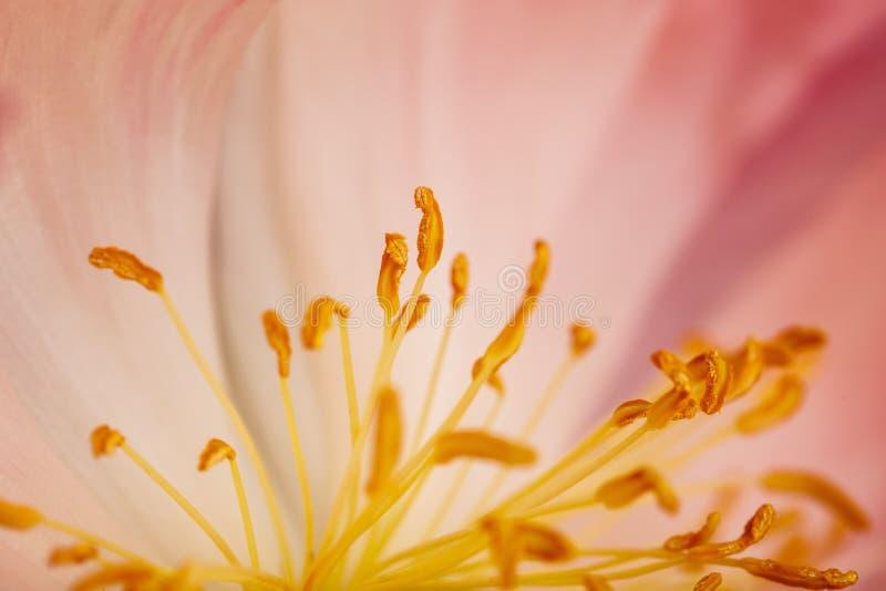 Peonia kwiat Makro- zdjęcia stock