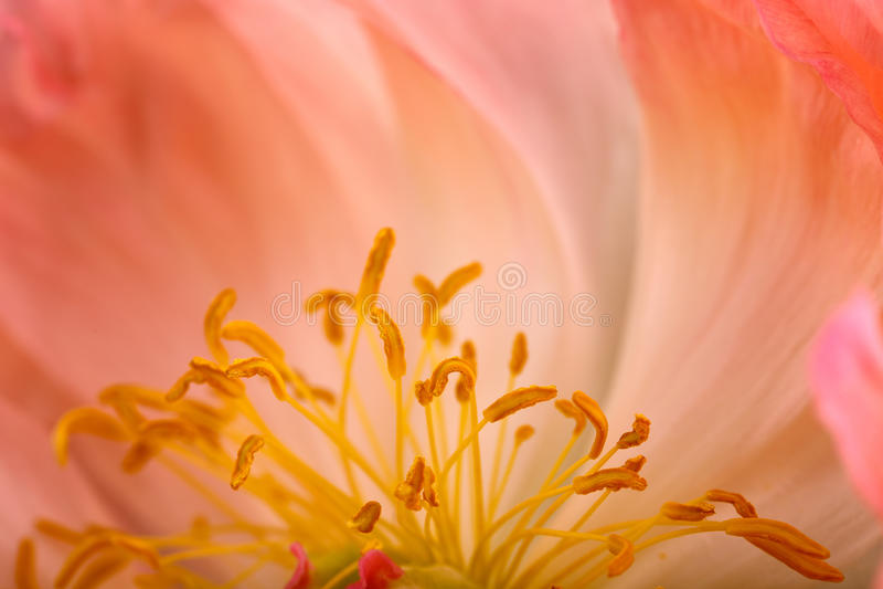 Peonia kwiat Makro- obraz royalty free