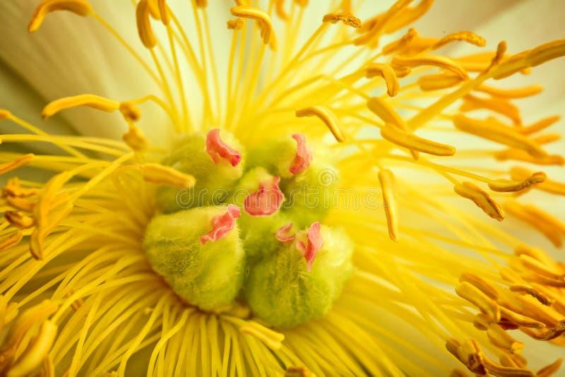 Peonia kwiat Makro- zdjęcia royalty free