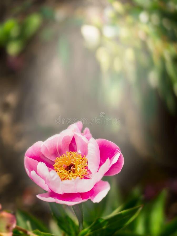 Peonia kwiat w pięknym świetle słonecznym na zamazanym zmroku parka lub ogródu tle zdjęcia stock