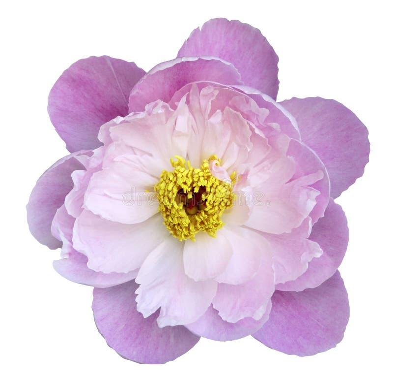 Peonia kwiatu menchie na białym odosobnionym tle z ścinek ścieżką Natura Zbliżenie żadny cienie Ogród obraz royalty free