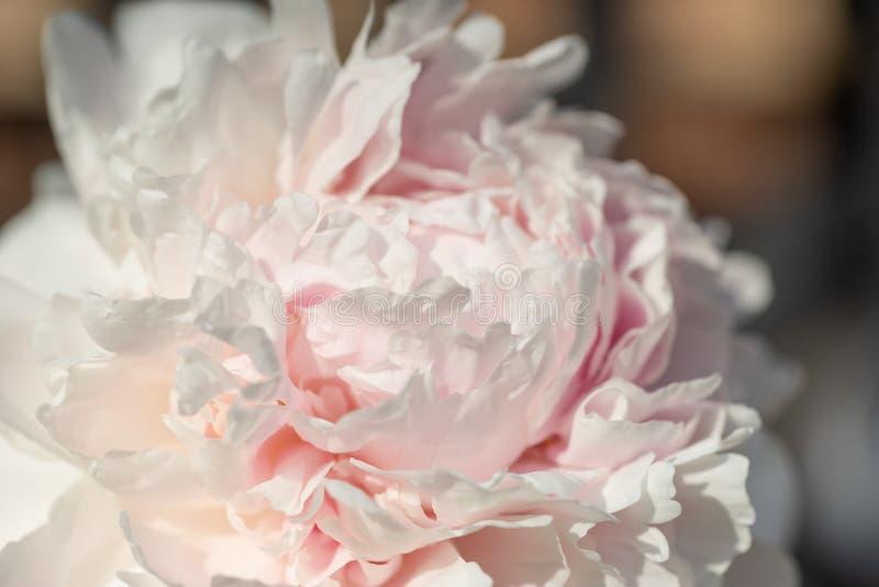 Peonia kwiatu okwitnięcie w górę zakończenia swirly zdjęcie royalty free