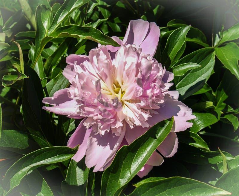 Peonia kwiatu Paeony okwitni?cie zdjęcie stock