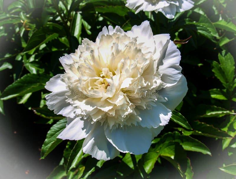 Peonia kwiatu Paeony okwitni?cie obraz stock