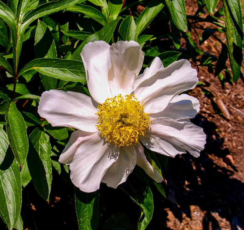 Peonia kwiatu Paeony okwitni?cie zdjęcie royalty free