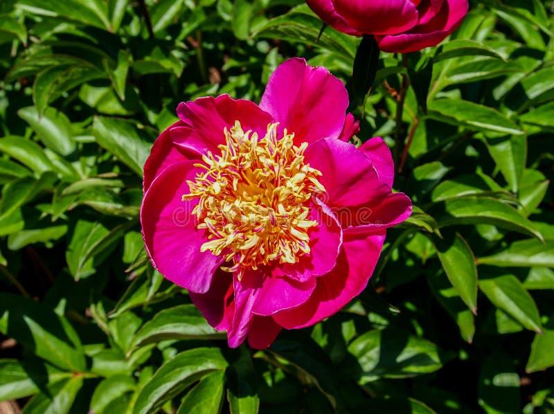 Peonia kwiatu Paeony okwitni?cie fotografia royalty free