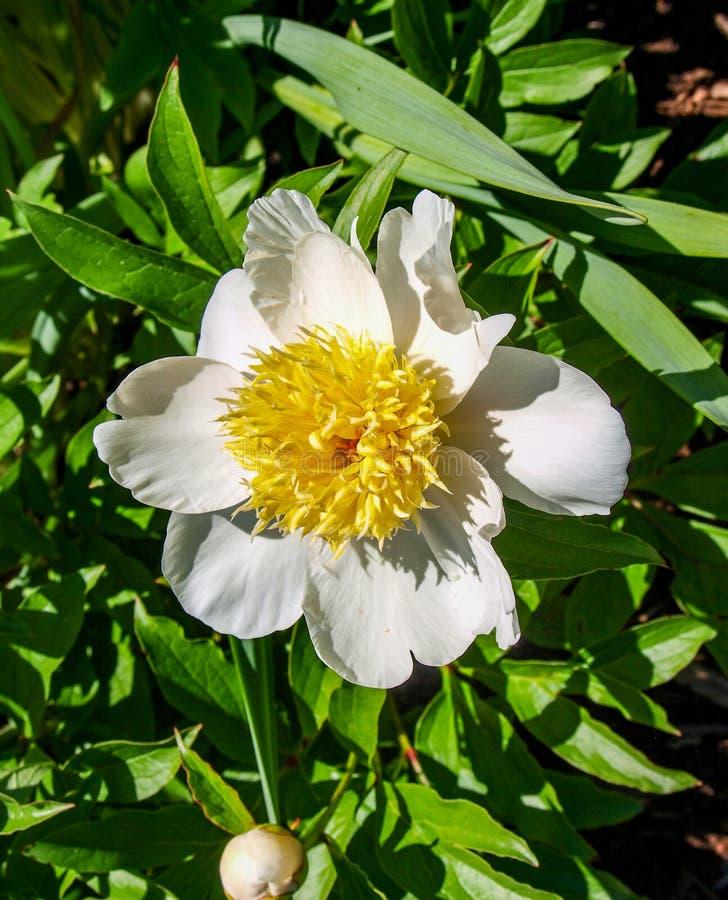 Peonia kwiatu Paeony okwitni?cie obrazy royalty free