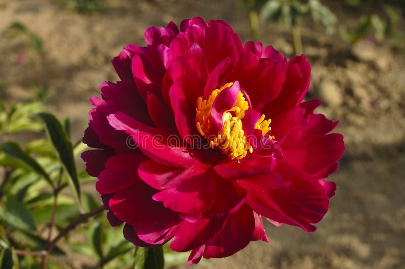 Peonia kwiaty obraz royalty free